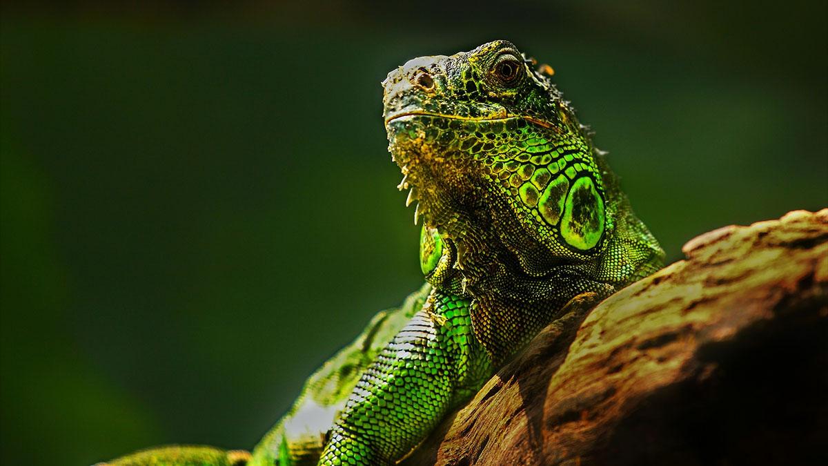 hdr lizard