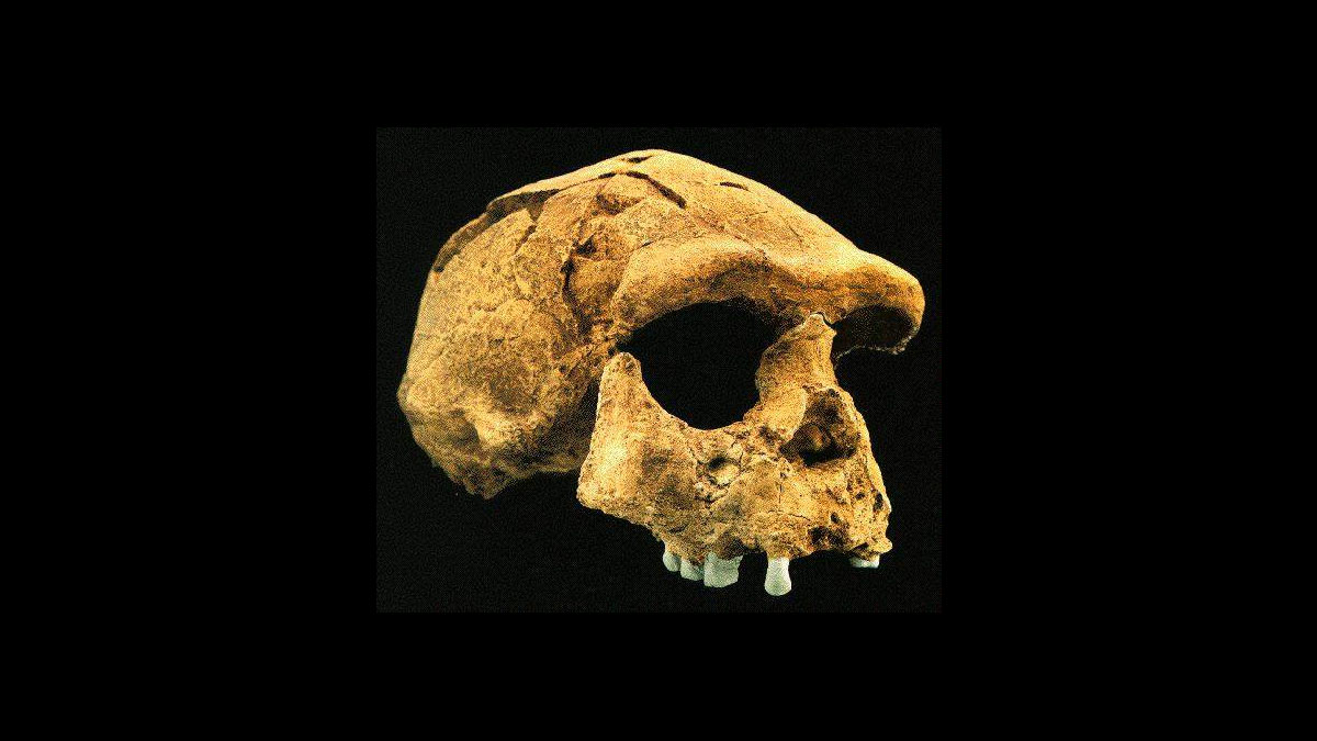 pithecanthropus erectus skull