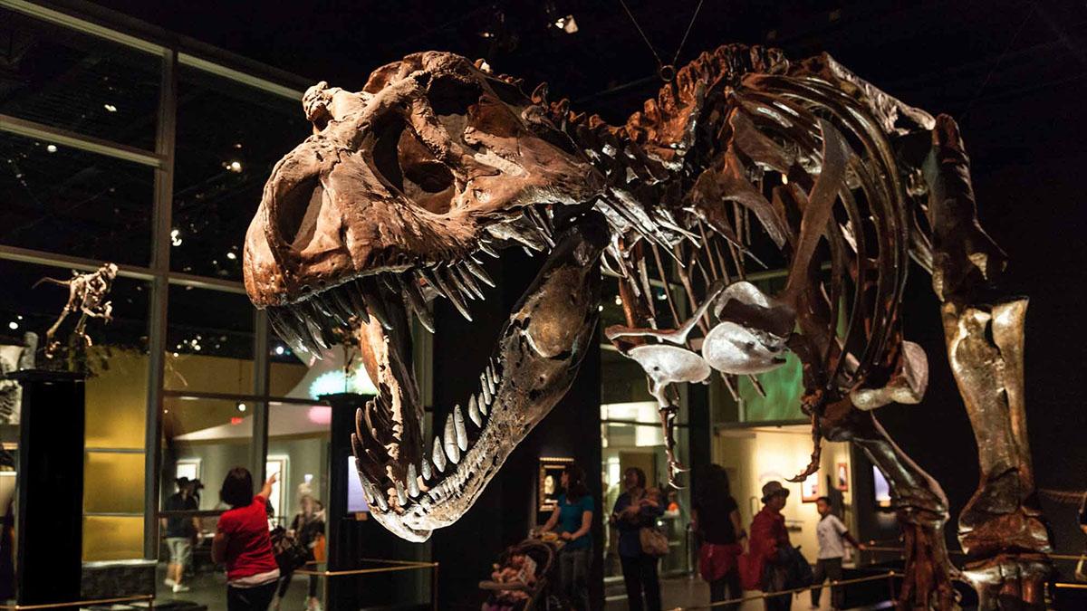t. rex in museum